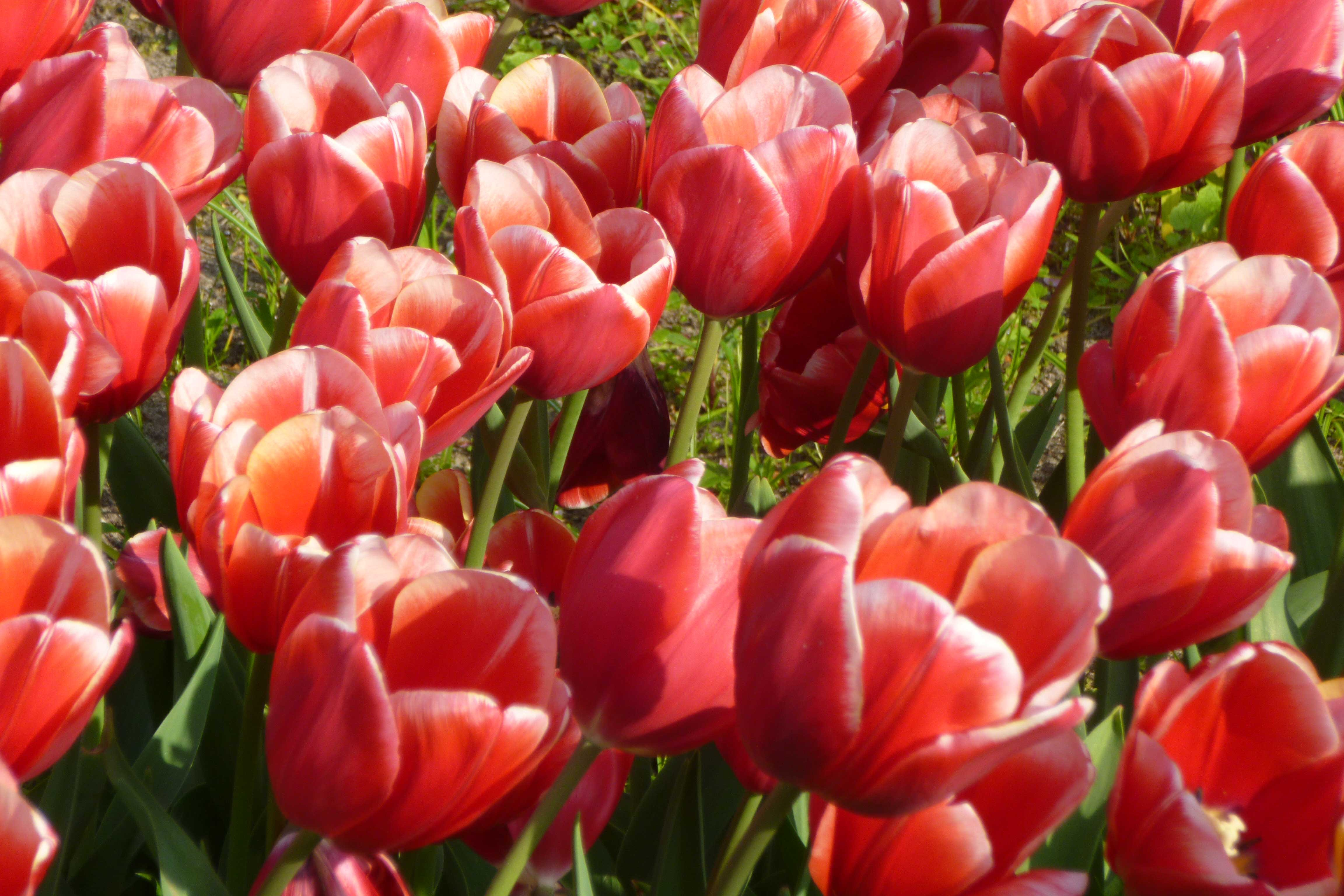 Care For The Tulip End Polio Now Tulp