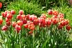 Doosje 25 tulpenbollen